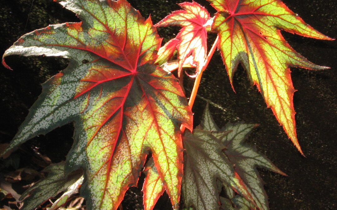 Begonia – opening to gratitude