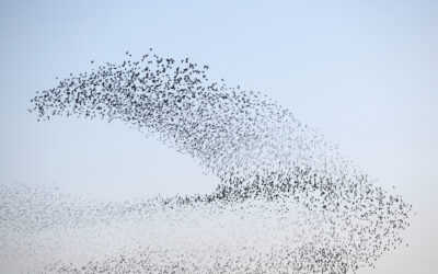 Starlings – Roosting in Peace