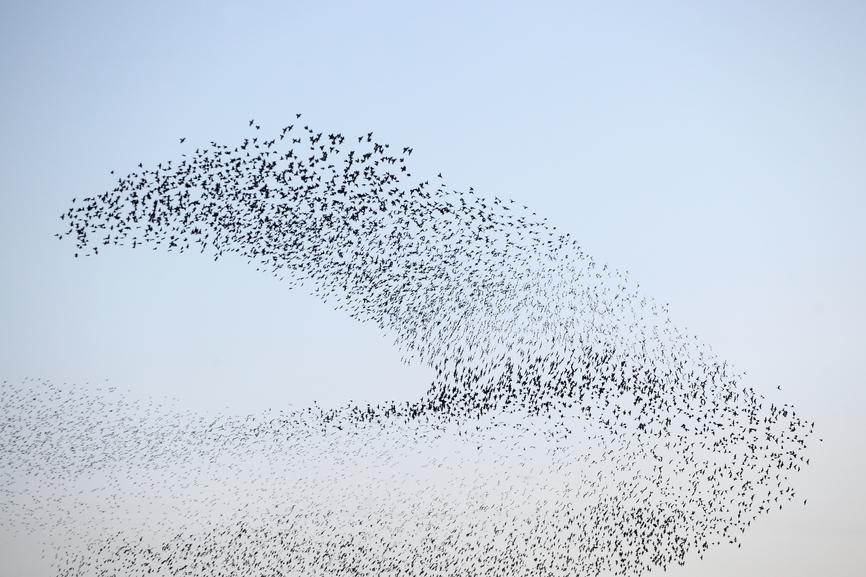 Starlings – Roosting in Peace