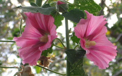 Hollyhock – holiness in the everyday