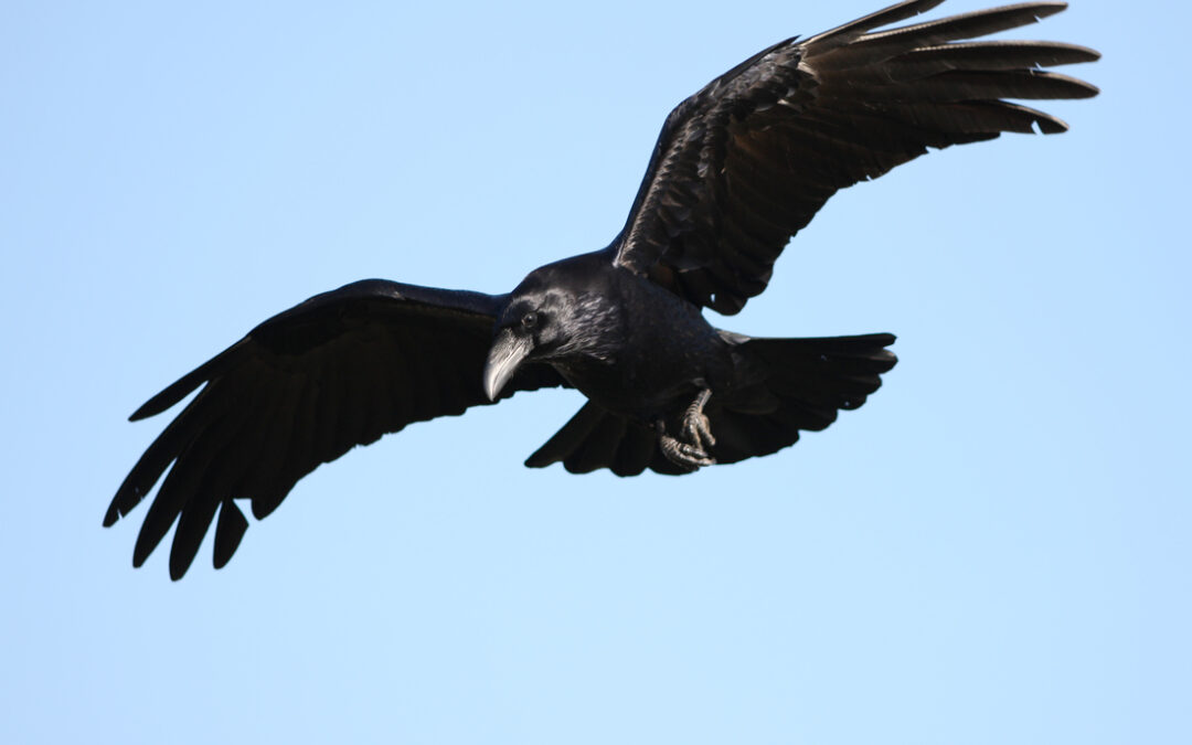 Crows – harbingers of light